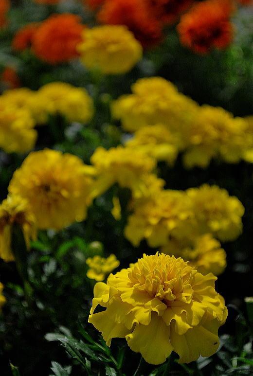 黄色のマリーゴールド.jpg