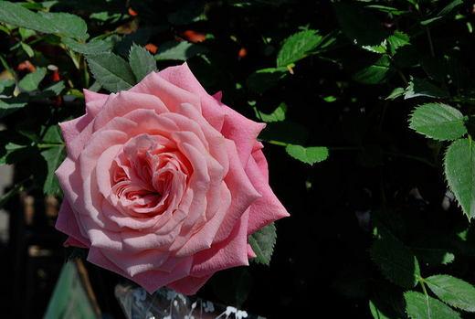 ピンクの薔薇.jpg