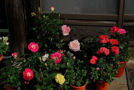 我が家の薔薇達.jpg