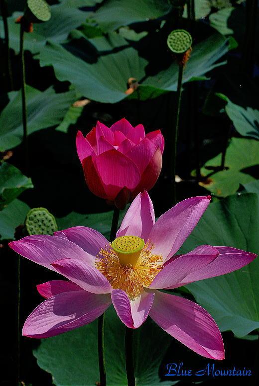 ハスの花.jpg