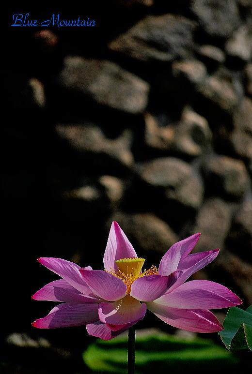 瓢湖の蓮の花.jpg
