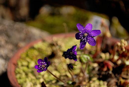 紫の雪割草.jpg