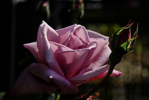 薔薇 ライラックタイム.jpg