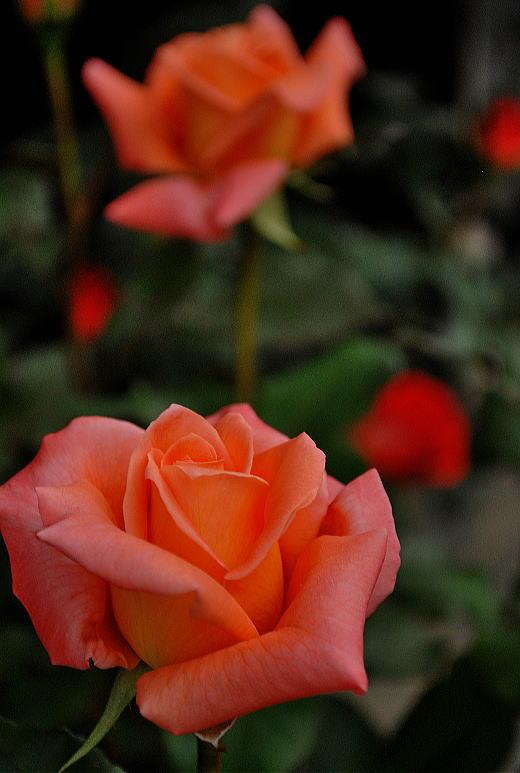 我が家の薔薇ベッティーナ.jpg