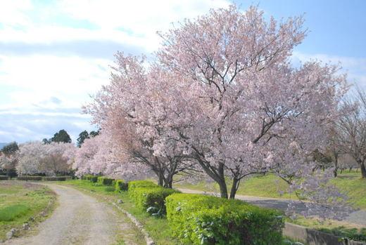 瓢湖の桜.jpg