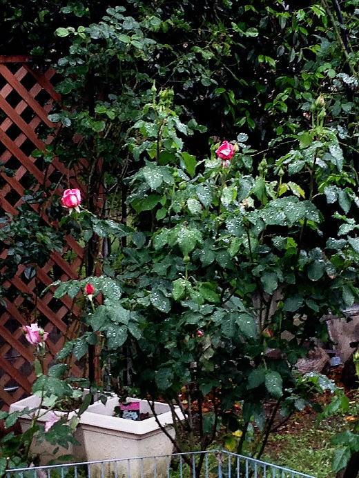 雨の中の薔薇.jpg