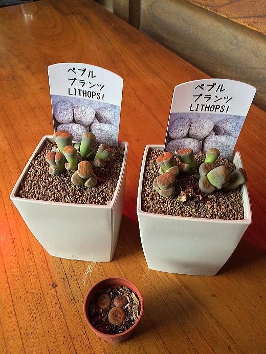 多肉植物リトープス.jpg